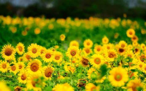 wallpaper hd bunga matahari bunga matahari musim panas bunga kuning iphone hd