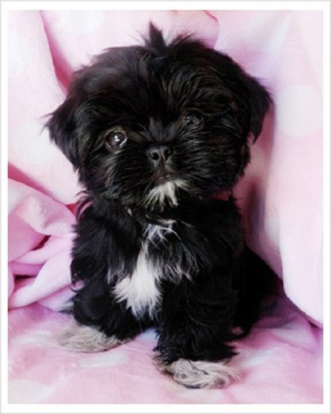 black miniature shih tzu black teacup shih tzu puppies zoe fans baby animals shih