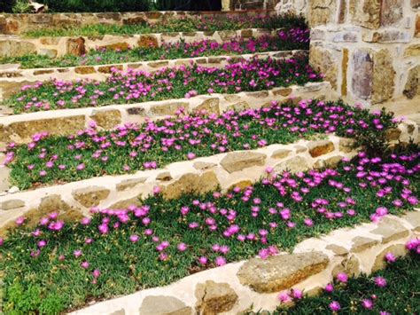 fiori resistenti al sole la scala sole con i mesembryanthemum i fiori che