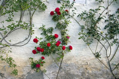 Bathroom Staging Ideas by How To Grow A Climbing Rose On A Trellis