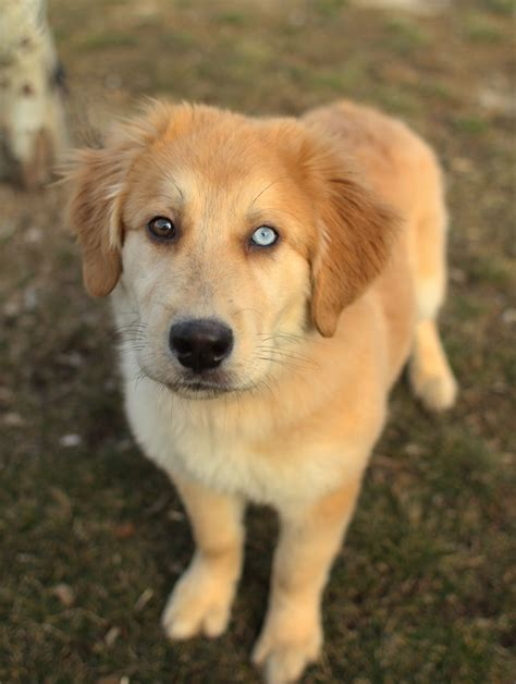 golden retriever and golden retriever husky mix pup 2