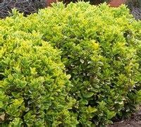 1000 images about evergreen shrubs and trees for hedge