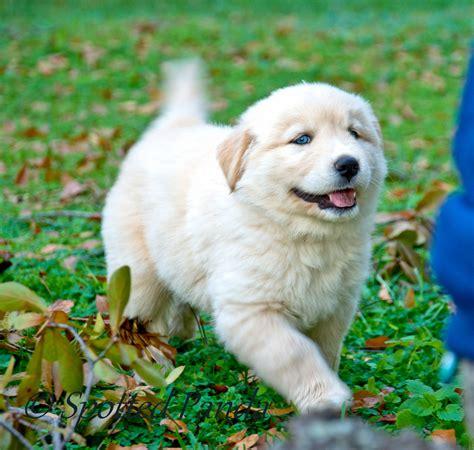 white husky golden retriever mix goberian puppy jazz panda flickr
