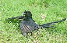 Anting Anting Black Magnet anting bird activity