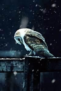 snowy barn owl snowy barn owl