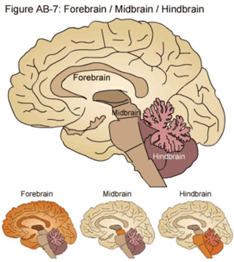 diagram of forebrain bealbio on line and upload period 4 nervous system