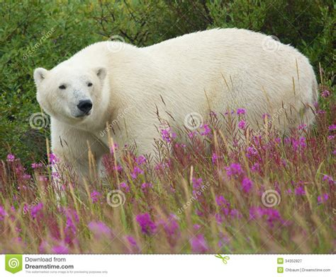polar and fireweed 1 stock image image of nature 34352827