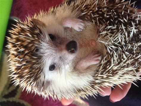 hedgehog for sale pygmy hedgehog for sale leicestershire melton mowbray