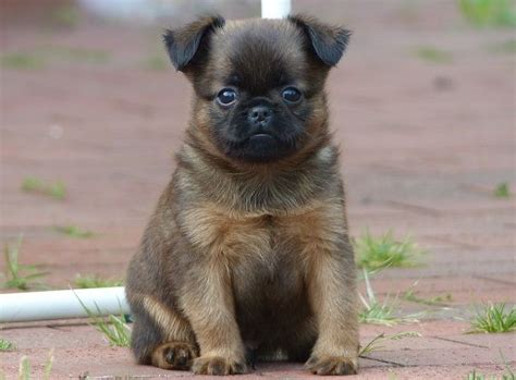pug breeders dallas 453 best pug mixed breeds images on