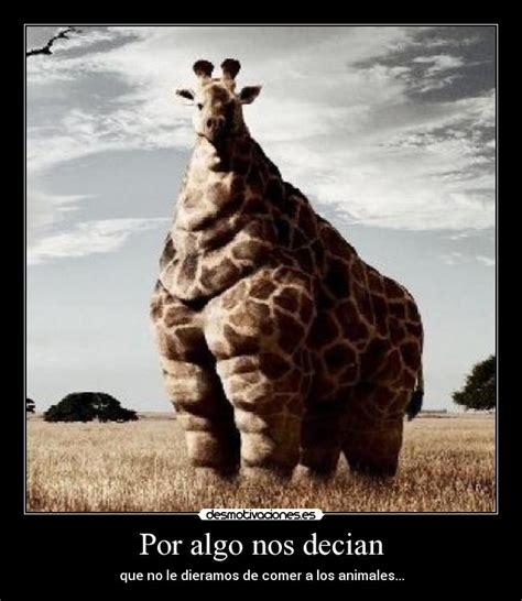 imagenes de jirafas gordas im 225 genes y carteles de obesa desmotivaciones