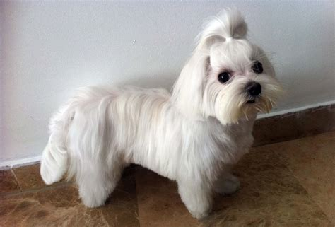 hair dogs 14 haired maltese dogs wallpapers morewallpapers