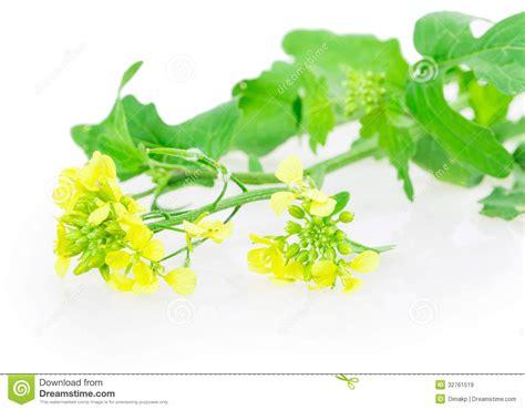 fiori di senape fiori della senape immagini stock libere da diritti