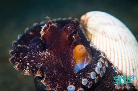 Octopus Home | the amazing octopus scuba diving blog
