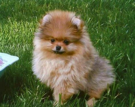 teacup pomeranian hypoallergenic 17 best images about pomeranians on