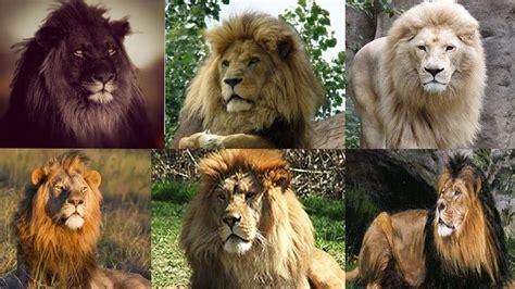 imagenes de leones chidos leones del mundo 10 razas de leones el le 243 n el