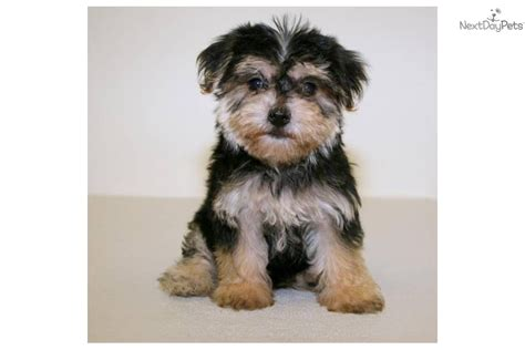 chion havanese the gallery for gt pomeranian yorkie mix