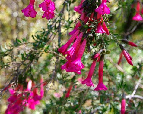 gardensonline cantua buxifolia