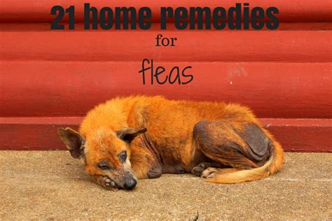 home remedies for cats with fleas 28 images 7 home