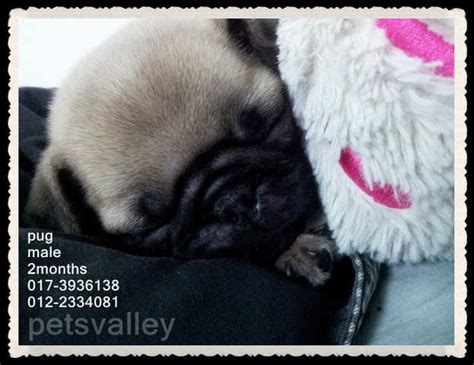 pug for sale malaysia pug for sale for sale adoption from selangor puchong adpost classifieds