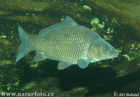 gambar jenis jenis ikan air tawar mufti