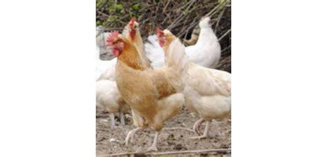 alimentazione delle galline alimentazione delle galline durante tutto il ciclo di vita