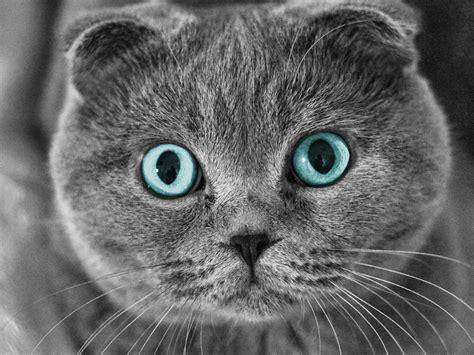 Grün Blaue Augen 5140 by Scottish Fold Katze Augen Gesicht 2560x1440 Qhd
