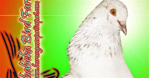 Giring Buat Burung Dara burung merpati betina bisa giring hir selayaknya jantan jababeka bird farm 0287 382807