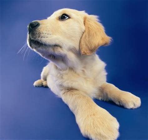 how to get fleas a puppy how to get rid of fleas ticks in my puppy s bed care the daily puppy