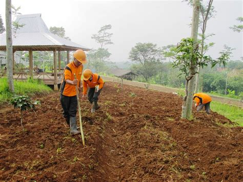 Benih Jagung Di Malaysia alat tanam jagung manual corn seeder saam gfs 01