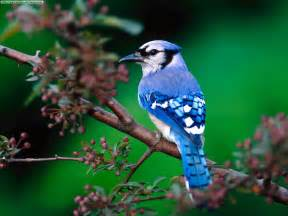 Great American Backyard Bird Count Blue Jay Birds Singing In The Forest Youtube