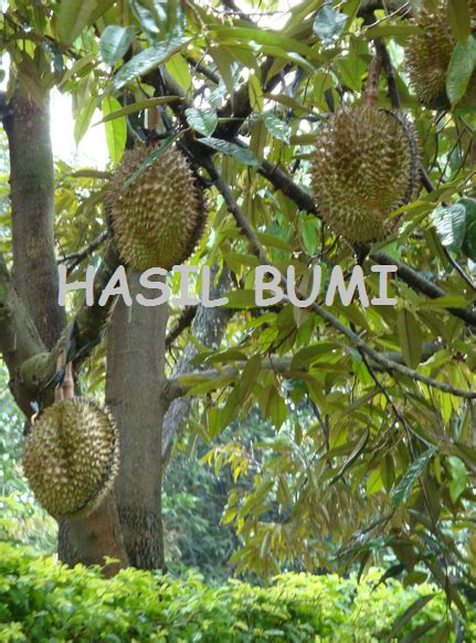 Bibit Durian Monthong Sedang Durian Monthong Manis Legit Dengan Bau Sedang Hasil Bumi