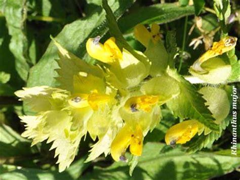fiori creste di gallo cresta di gallo comune fiori e fogliefiori e foglie