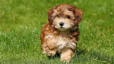 havanese dogs what is a havanese puppy cut reference