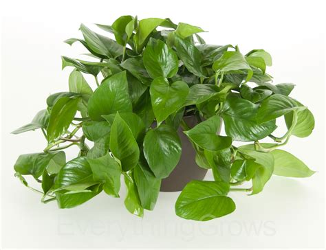 buy jade pothos online free shipping over 99 99