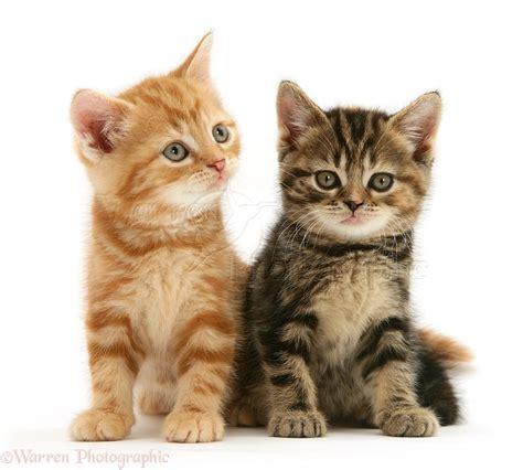 wallpaper atau cat corak bulu kucing tabby