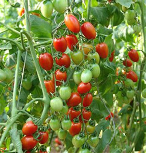 Bibit Tomat Green Emerald 1 budidaya tomat cherry hidroponik call me okcat