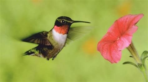scientists find fault in hummingbirds hovering abilities