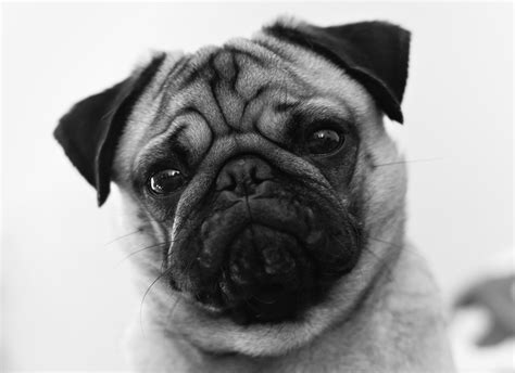 show me a pug beautiful pug by kevin robatel 500px
