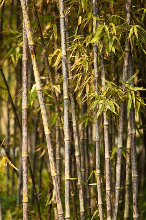 bambus krankheiten bambus krankheiten 187 vorbeugen behandeln