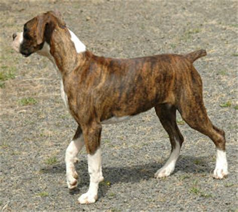 boxer puppies ta boxer puppies adults for sale or adoption information on boxer litters
