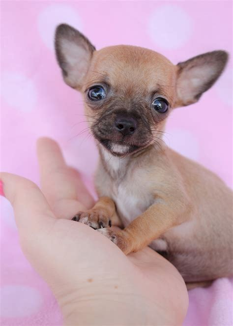 chihuahua puppy for sale tiny chihuahuas for sale at teacups puppies south florida teacups puppies boutique