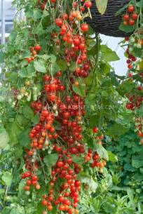 Flower Seeds For Hanging Baskets - cherry tomatoes cherry cascade hanging from pot