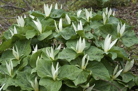 trillium albidum wikipedia