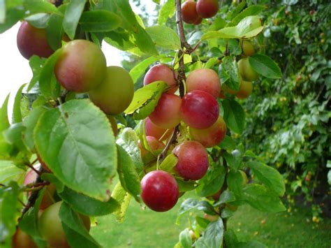 damson fruit trees damson fruit