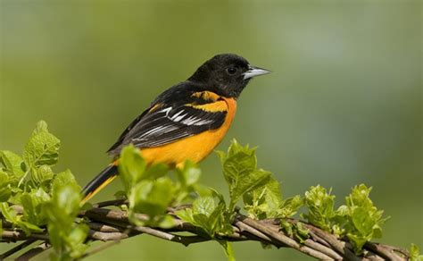 how to attract orioles this spring