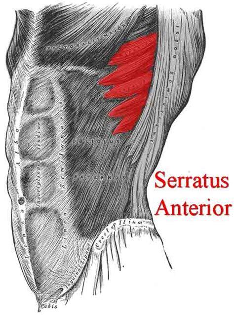 addominali obliqui interni serratus anterior physiology and functional anatomy