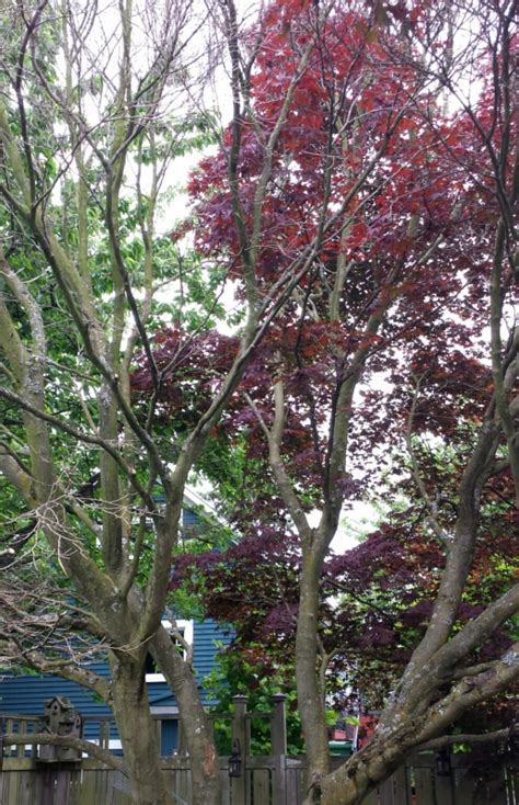 maple tree wilting leaves seattle arborist leaf design and tree care