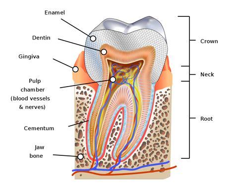 diagram of types of teeth human tooth