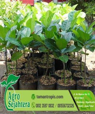 Jual Bibit Pohon Nangka Mini jual bibit nangka mini