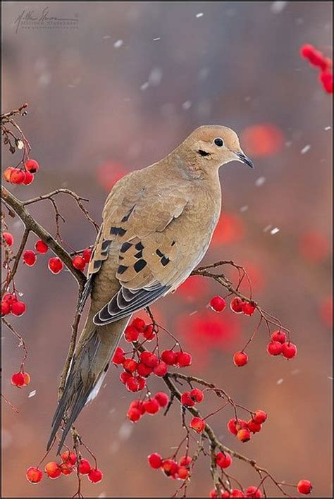 mourning dove lovely color palette animal cool pic s